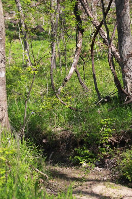 Gans Creek blog vine (066)
