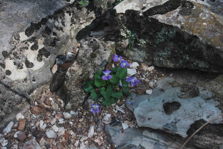 Gans Creek blog violets (109)
